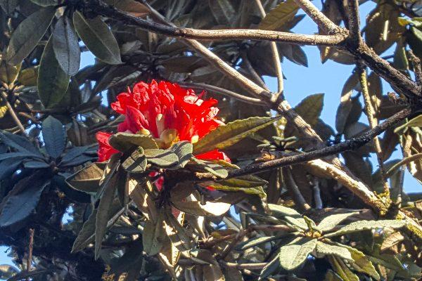 Red Flower in Myanmar