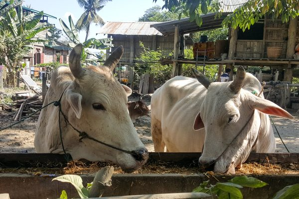 Ox Cart In Chin-State