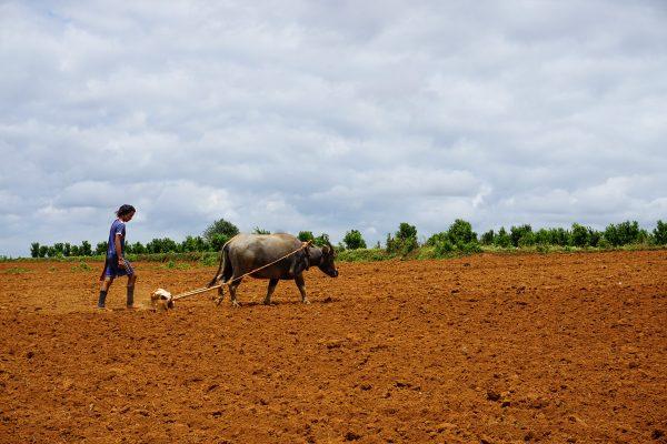 Burmese Peasant With Ox Seen On The Trekking Tour From Pindaya, Mandalay