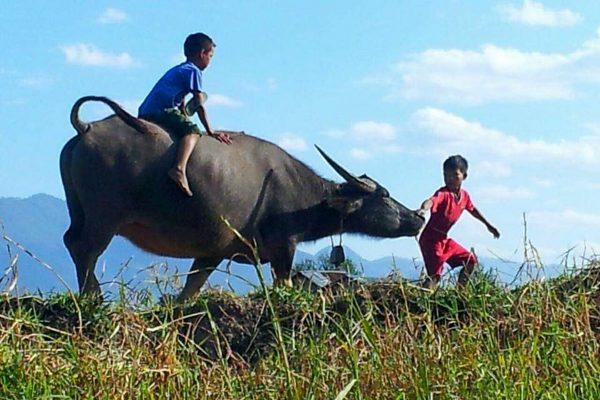 Two Burmese Boys Play With A Water Buffalo