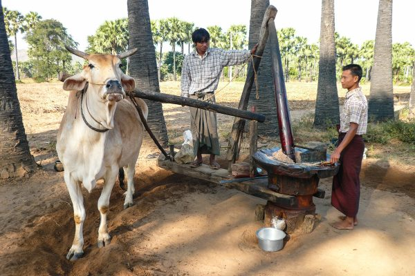 Peasants With Their Cow In Bagan
