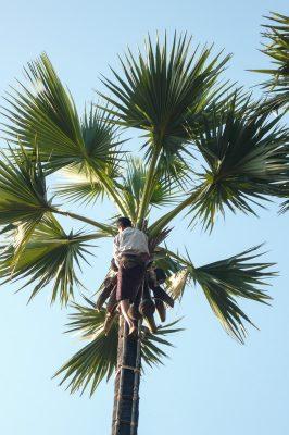 Picking Palm Fruits