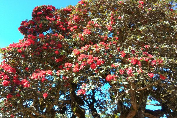 Rhododendron Flowers In Chin State